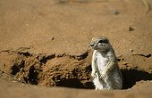 South African Ground Squirrel in Kgalagadi NP South africa