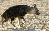 Striped Hyaena in Kgalagadi NP South africa