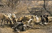 Lycaons mangeant un Gnou Madikwe Afrique du Sud