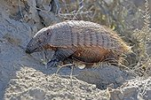 Large hairy armadillo walking Patagonia Argentina