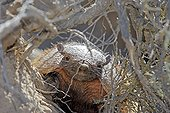 Large hairy armadillo on roots Patagonia Argentina