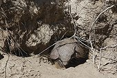 Large hairy armadillo on sand Patagonia Argentina