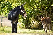 Two Donkeys in an orchard Champagne-Ardenne France
