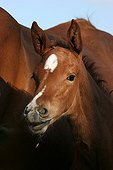 Foal and mare in Marne France