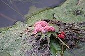 Ponte snail on a leaf Lotus Bali Indonesia