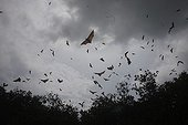 Fruit bats in flight in the natural park of the 17 islands Indonesia