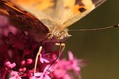 Painted-lady migrating foraging flowers ValerianFrance