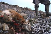 Hunter approaching a Corsican sheep just shot Kerguelen ; Campaign to eradicate introduced species