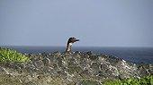 Kerguelen Cormorant immarture curious Kerguelen Islands