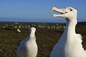 Couple of wandering albatross Kerguelen island