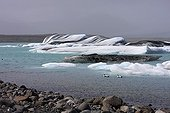 Common Eider males on the lake ice Jokulsarlon Island