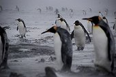 King penguins walking in a blizzard at Kerguelen Islands ; They join the bulk of the colony to shelter from cold winds by curl against each other