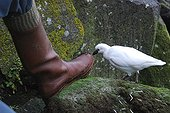 Black-faced Sheathbill feeling the boot of a scientist ; The introduction of the cat on the Kerguelen archipelago in the 1950s, this small seabird scavenger has almost completely disappeared from the Mainland. The small islands of the archipelago, there are now act as shelters for this species