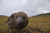 Brown Skua intrigued by the camera Kerguelen Islands