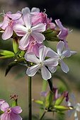 Soapwort along the Loire in Touraine France