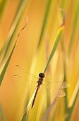 Vagrant Darter Dragonfly at dusk in the tall grass Ardèche