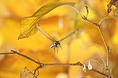 Southern Hawker Dragonfly in flight at autumn France