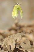 Vol d'un Citron de Provence au-dessus de feuilles mortes