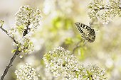 Oldworld Swallowtail flying among the white flowers France