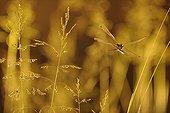 Orthetrum réticulé en vol au crépuscule France