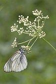 Black-veined White posing on a flower Haute-Savoie France