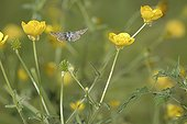 Brown Argus in flight in Buttercups at spring France