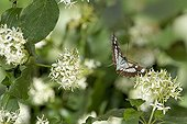 Southern White Admiral in flight at spring France