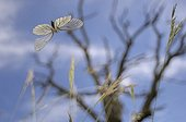 Black-Veined White in flight at spring France