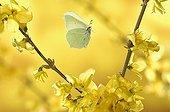Brimston flight among the flowers of forsythia Vosges