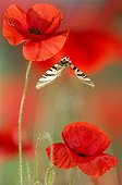 Scarce Swallowtail in flight among the poppies in spring
