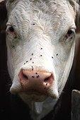 Portrait de Vache Montbeliarde avec mouches France