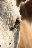 Gros plan de Vache Montbeliarde avec mouches France