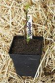 Raspberry seedling 'Llyod Georges' in bucket in a garden