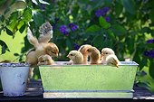 Chicks in a tin can on a garden tableFrance