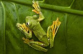 Wallace's Flying Frog primary forest Sabah Borneo