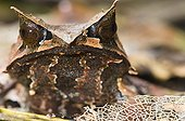 Bornean Horned Frog in primary forest Sabah Borneo