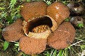 Rafflesia poring in primary forest Sabah Borneo Malaysia