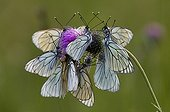 Black-veined white roosting aggregation on thistle France