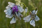Black-veined white roosting aggregation on orchid France