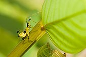 Larval form of Assassin bug in primary forest Sabah Borneo