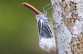 Lantern bug in primary forest Sabah Borneo