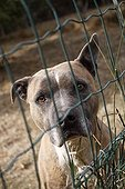 American Staffordshire terrier abandoned in shelters SPA