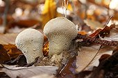 Puffball in the leaves France