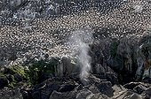 Colony of  Northern Gannet on the island of Rouzic France