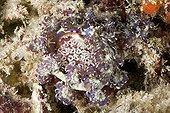 Blue dragon nudibranch on the reef Tuamotu French Polynesia