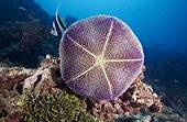Pin-cushion Star on the reef Tuamotu French Polynesia