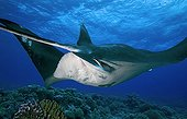 Giant  Manta above the reef Tuamotu French Polynesia