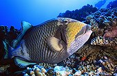 Titan Triggerfish on the reef Tuamotu French Polynesia