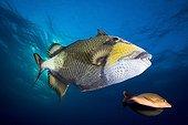 Titan Triggerfish swimming Tuamotu French Polynesia