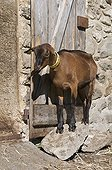 Goat to the barn in the mountain pastures in summer Savoie